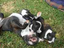 Ajubiri Boston Terriers