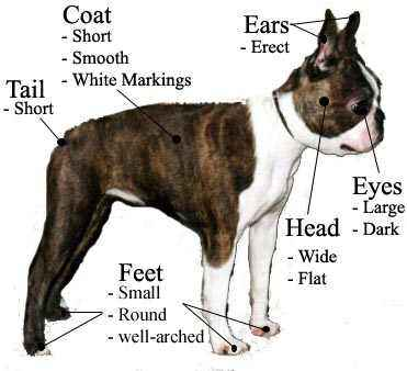 Boston Terrier Breed Standard